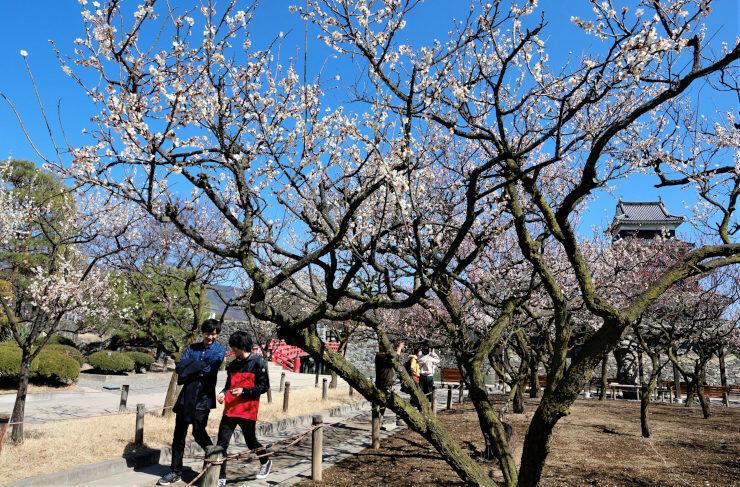見頃を迎え、香りを漂わせる松本城公園の梅=18日