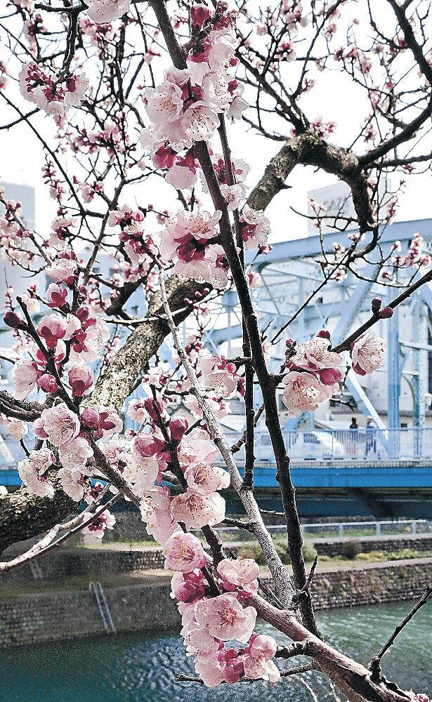 満開となったアンズ=金沢市千日町の雨宝院