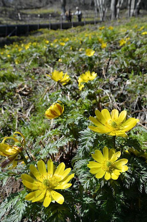 春の日差しを浴びて、黄色い花びらを輝かせるフクジュソウ=19日、長野市七二会