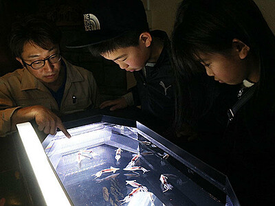 泳ぐホタルイカ間近で観察 魚津水族館、発光実験や産卵も