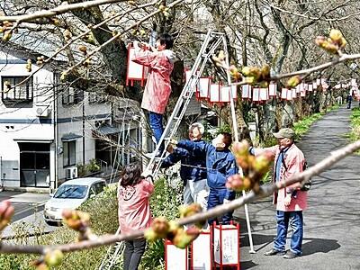 福井市・足羽川の夜桜彩るぼんぼり 足羽山は23日点灯