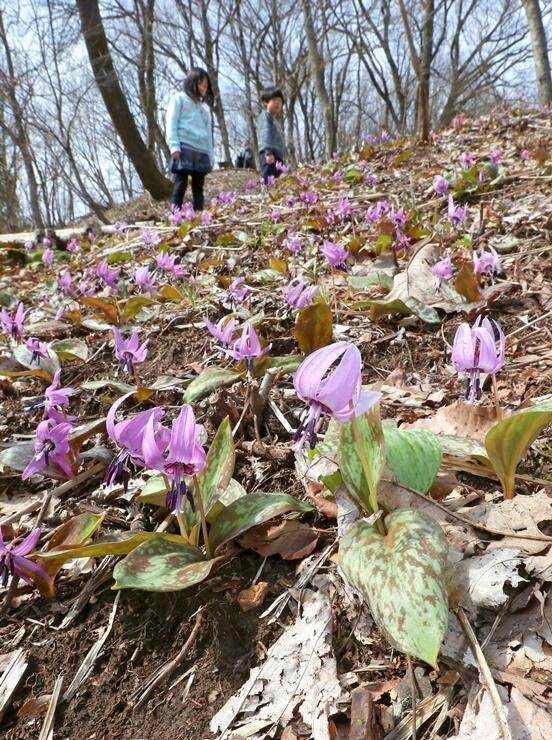明るい林の斜面で群れ咲くカタクリ=21日、長岡市の国営越後丘陵公園