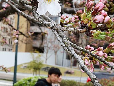 桜 一足早く 富山の松川べり