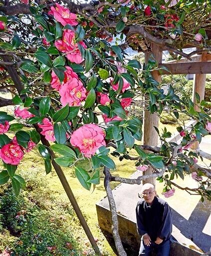 ピンク、赤など鮮やかな花を咲かせる五色ツバキ=3月23日、福井県小浜市金屋の萬徳寺