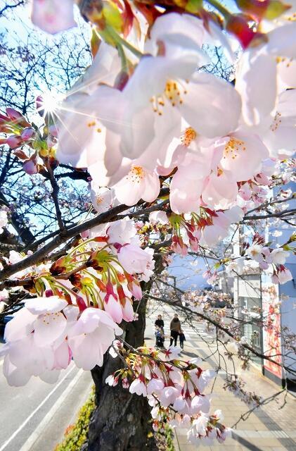 陽気の中、ピンク色の花を咲かせたソメイヨシノ=3月25日午後3時5分ごろ、福井県福井市宝永4丁目の通称さくら通り