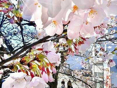 桜、もう開花宣言 福井 観測史上最も早く