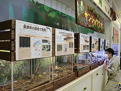 サンショウウオ大集合 魚津水族館で展示