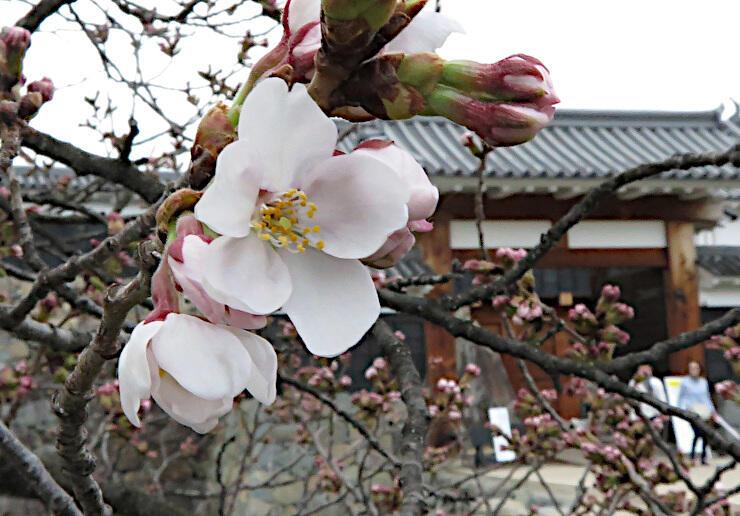 松本城外堀沿いでほころび始めたソメイヨシノ=27日、松本市