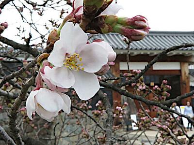 ソメイヨシノ、弥生のほころび 松本城外堀沿い