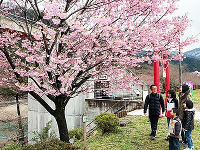 9種の桜楽しんで 砺波で庄川峡桜まつり開幕
