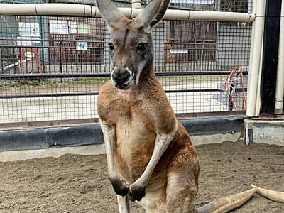 アカカンガルー「リュウ」当選 須坂市動物園の「顔」