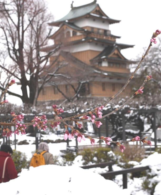 開花が確認された高島公園の桜=29日午後2時48分、諏訪市