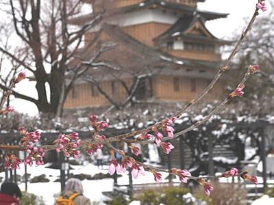 高島公園の桜、開花確認 諏訪市「これまでで最も早く」
