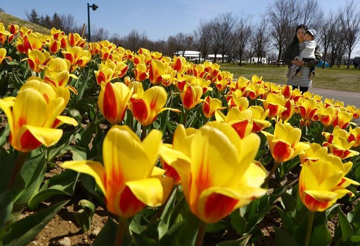 来園者を楽しませる早咲きのチューリップ「ストレッサー」=31日、国営越後丘陵公園