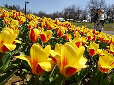 チューリップ早咲きが見頃 長岡市・越後丘陵公園