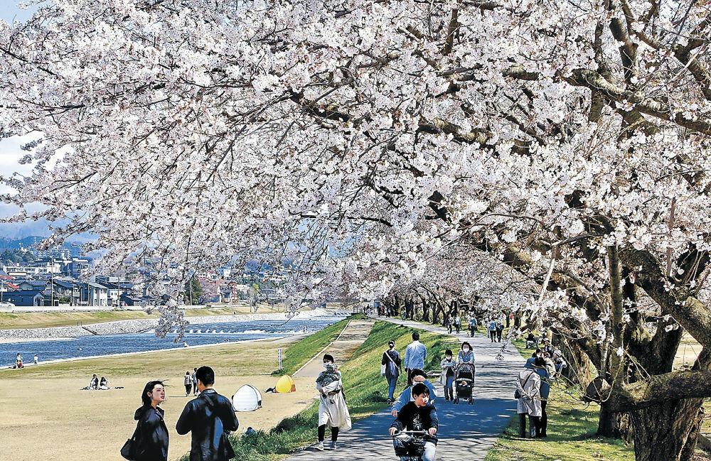 桜並木の下を行き交う市民=金沢市法島町