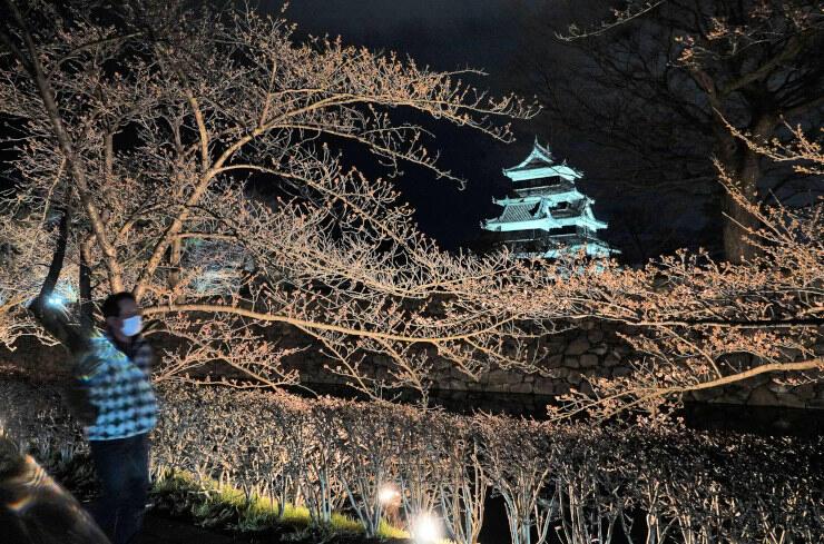 ライトアップが始まった松本城外堀の桜並木=31日午後7時11分、松本市丸の内
