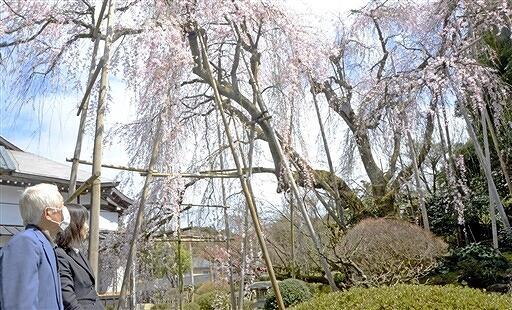 満開を迎えた興行寺のしだれ桜=3月31日、福井県永平寺町藤巻
