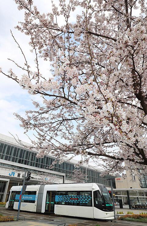 ほぼ満開となった富山駅南口の桜とポートラム=富山市明輪町