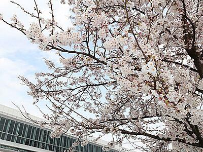 満開の桜 電車と共演 南北接続の富山駅
