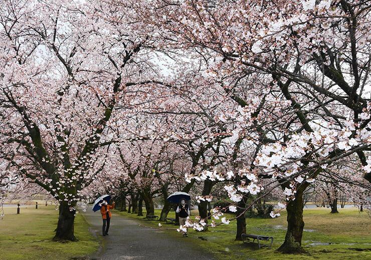 鮮やかな桜が並ぶ園内=県中央植物園