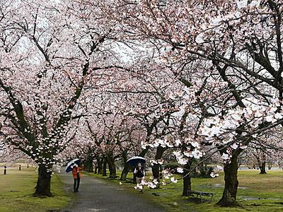 ソメイヨシノ鮮やか 県中央植物園でさくらまつり開幕