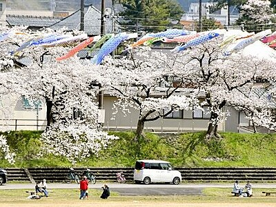 こいのぼり、桜と春風と戯れ 福井県勝山市の弁天河原