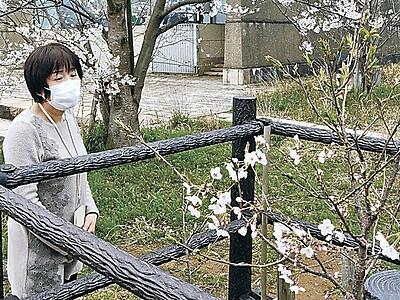 加賀「高峰桜」 植樹5年目で本格的に開花