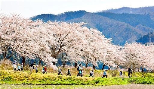 日野川沿いに咲き誇るソメイヨシノ=4月3日、福井県南越前町湯尾