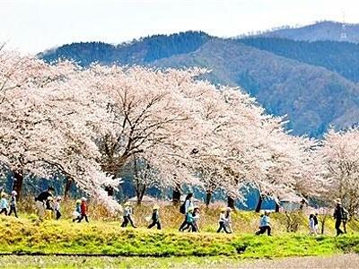 川沿いに咲き誇るソメイヨシノ 福井県日野川