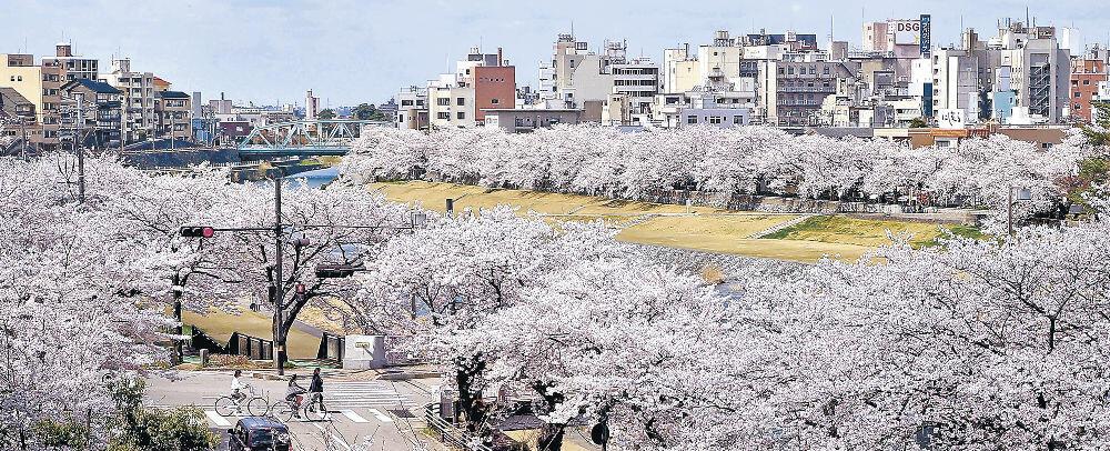 犀川の両岸を覆うように見える満開の桜並木=清川町