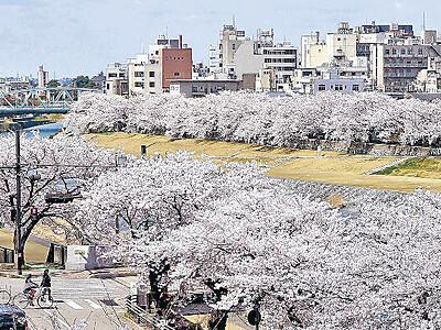 犀川覆う桜並木 金沢・おとこ川覆う桜並木