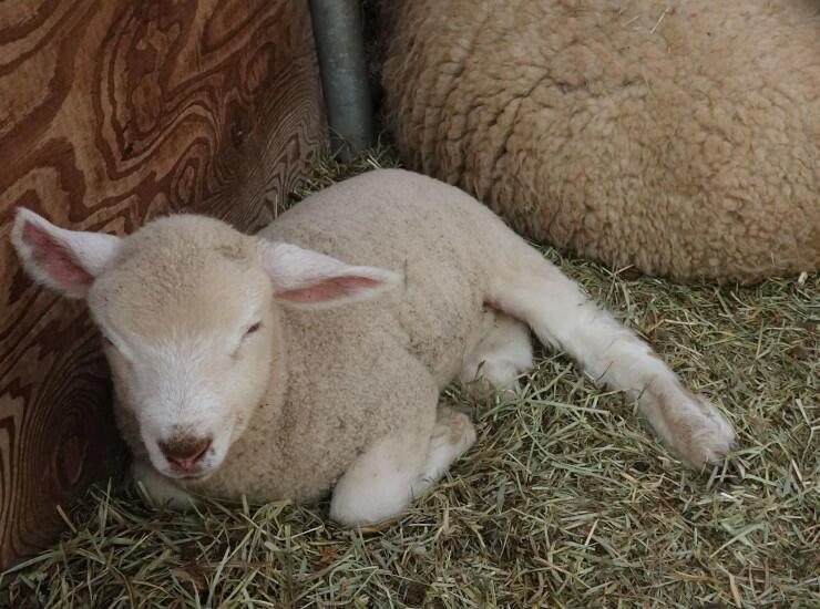 生まれたばかりの羊の赤ちゃん。愛らしい姿で来園者を迎えている