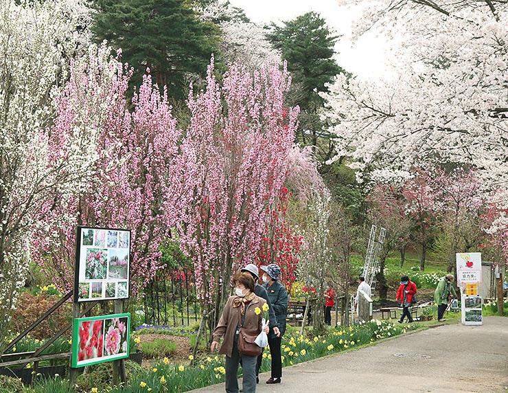 ハナモモと桜が咲き誇る園内