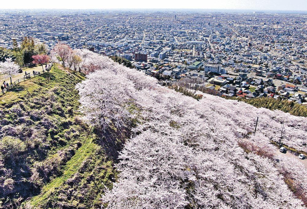 満開となったソメイヨシノが山肌をじゅうたんのように覆った高尾城址見晴らし台=金沢市高尾町(小型無人機から)