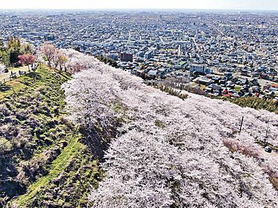 山肌を包む桜 金沢・高尾城址