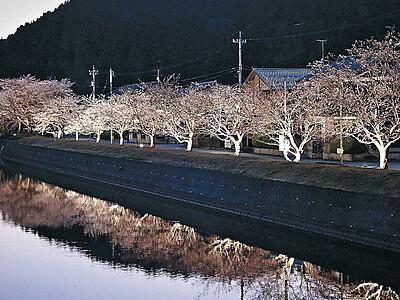 山王川沿い、夜桜照らす 石川・穴水