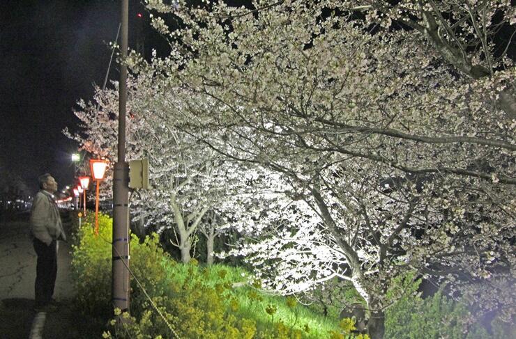 ライトアップされた大河津分水路沿いの桜並木=7日夜、燕市