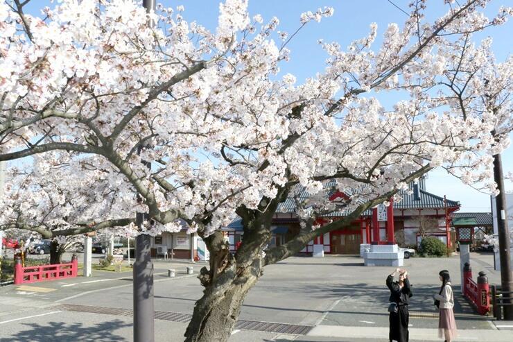 見頃を迎えた弥彦駅前の桜=7日、弥彦村