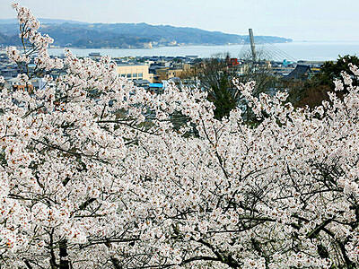 富山湾を望む桜 朝日山公園(氷見市幸町)