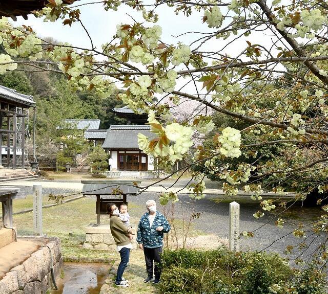 黄緑色の花を咲かせるウコンザクラ=4月8日、福井県敦賀市原の西福寺