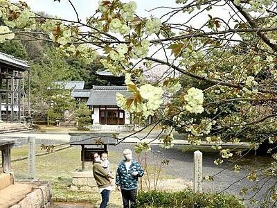 黄緑の八重 境内春色 ウコンザクラ見頃 福井・敦賀