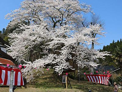 「駒つなぎ桜」優雅に