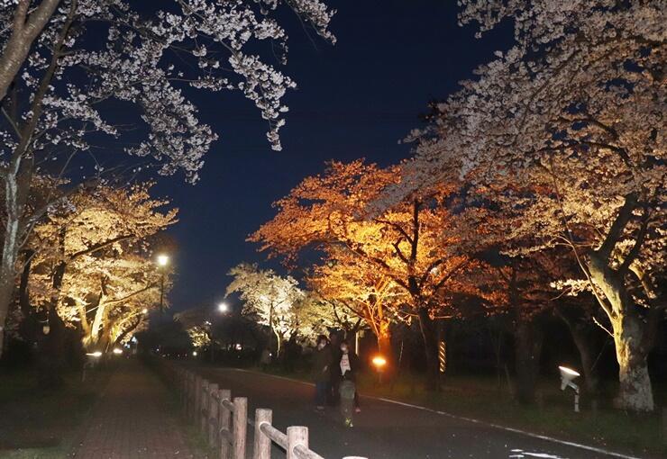 明かりに照らされた桜並木が、幻想的な雰囲気を演出している夜桜のライトアップ=五泉市