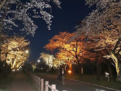 桜トンネル幻想的に 五泉・村松公園