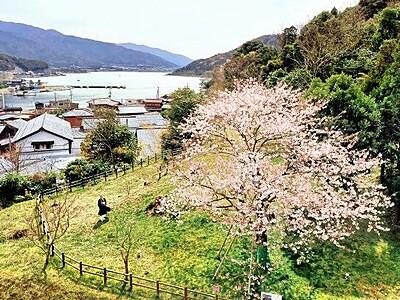湖一望の丘を彩る一本桜 福井県美浜町、三方五湖近く