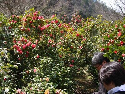 華やか雪椿 庭園に満ち 阿賀の旅館解放