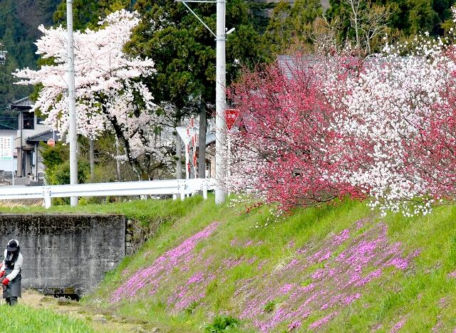 一斉に花を咲かせたハナモモ、シバザクラ、桜=4月11日、福井県大野市牛ケ原
