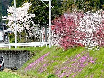 桜 ハナモモ シバザクラ 今年は仲良く咲いたよ 大野