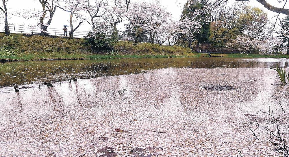 桜の花びらで覆われた池=金沢市の奥卯辰山健民公園